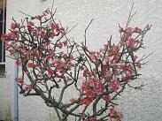 3棟ぼけの花.JPG