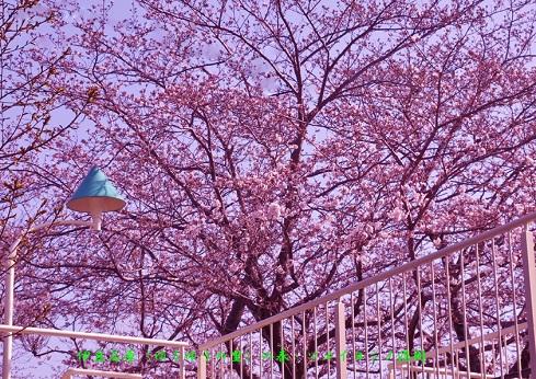 0-10 伊豆高原〈ゆうゆうの里〉の春・ソメイヨシノ.jpg