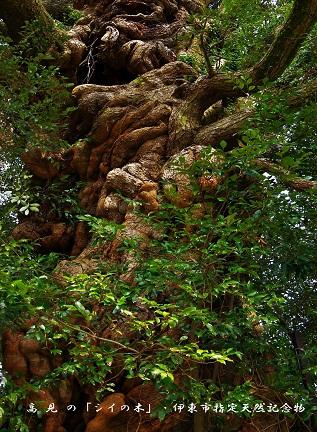 0-5 高見の「シイの木」.jpg