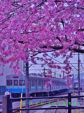 0-6 「大寒桜」&伊豆急電車.jpg