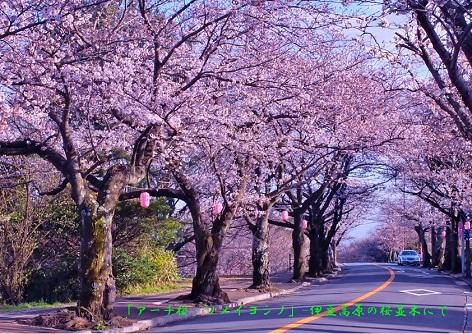 0-8 「アーチ桜」・ソメイヨシノの桜並木通り.jpg
