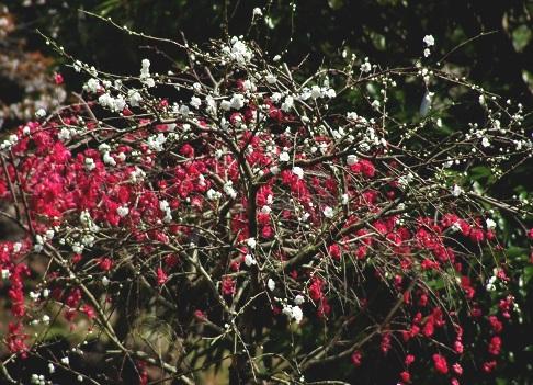 4-1 里の花桃-紅白.JPG