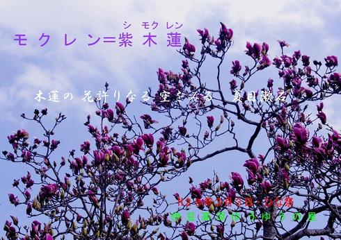 0-1 モクレン・紫木蓮・シモクレン.jpgのサムネール画像