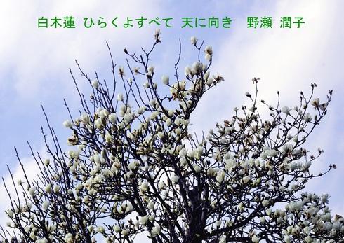 0-2 白木蓮・ハクモクレン.JPGのサムネール画像