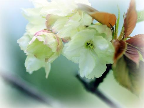 0-11-1 御衣黄桜.jpgのサムネール画像