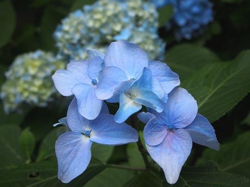 2016.6.6明月院紫陽花3.JPGのサムネール画像