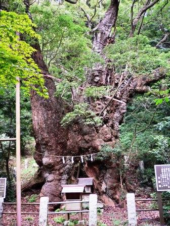葛見神社の大楠3.jpg
