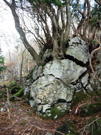 3巨岩を割る木.JPG