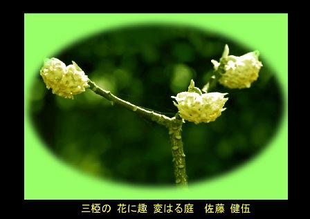 三椏・ミツマタの花開く! 2019.2. 雨水0-0 (3).jpg