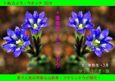 徳植様フデリンドウ2019.03 (1).JPG