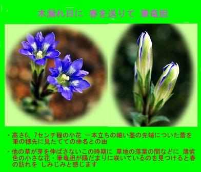 徳植様フデリンドウ2019.03 (2).JPG