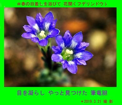 徳植様フデリンドウ2019.03 (3).JPG