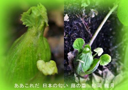 里・春の香り!-蕗の薹 2019.2. 立 春2.jpg