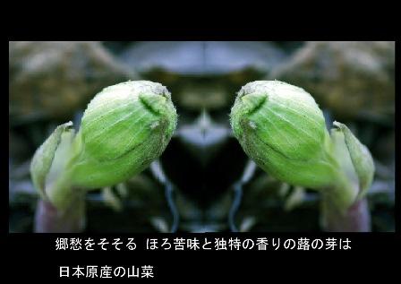里・春の香り!-蕗の薹 2019.2. 立 春3.jpg