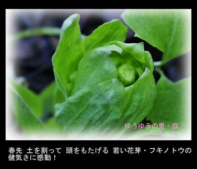 里・春の香り!-蕗の薹 2019.2. 立春1.jpg