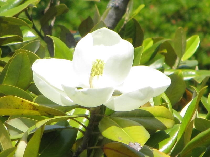タイサンボク2020花.JPG