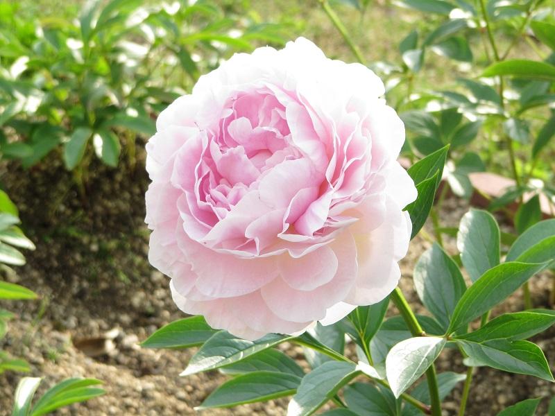桃色で八重咲き.JPG