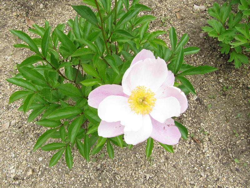薄桃色で二重咲き.JPG