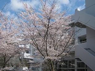20120414 sakura.jpg