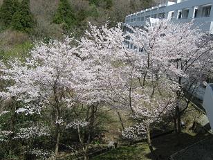 20120414 sakura7.jpg