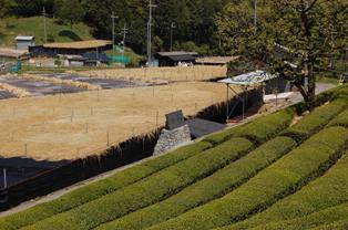 2013.5.1茶畑.jpg