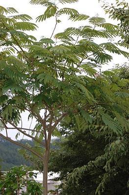 ねむの木②.JPG