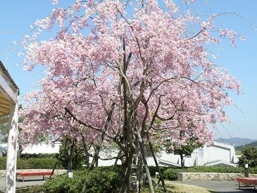 大食堂の枝垂桜.JPG