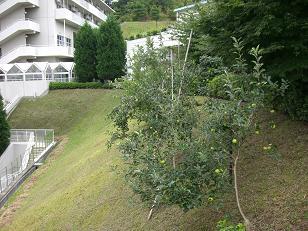 林檎①.JPG
