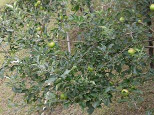 林檎②.JPG