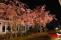 100410しだれ桜①.JPG