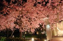 100410しだれ桜③.JPG