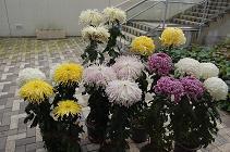 201015菊①.JPG