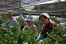 20110520茶摘み3.JPG