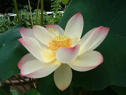 20110808 蓮の花2.JPG