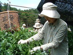 20120603茶摘み1.JPG