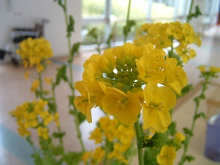 20130120菜の花③.jpg