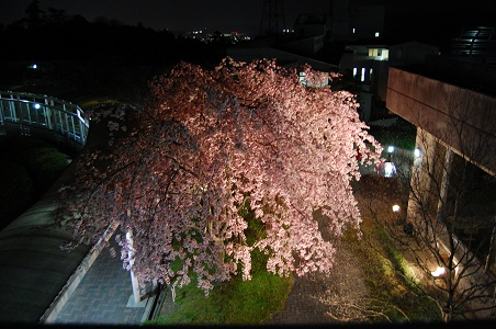 20140409夜桜①.jpg