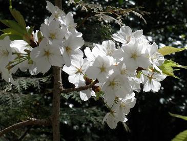 6号棟前の枝垂桜(2)090412.JPG