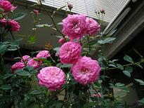 ばらの花.JPG