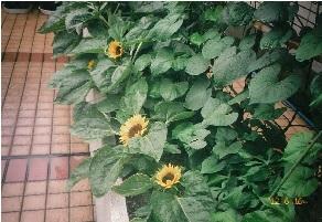 ひまわりの花とひょうたん.jpg