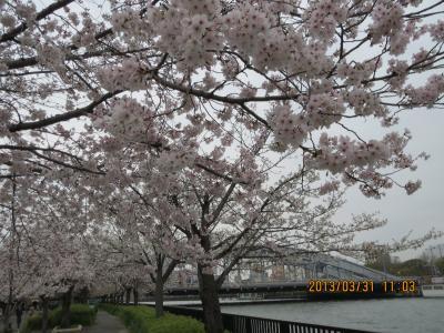 桜と橋.jpg