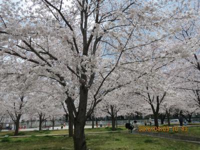 桜広場1.jpg