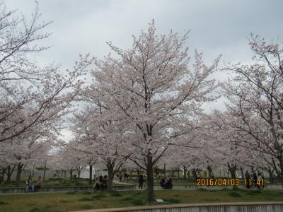 桜広場2.jpg