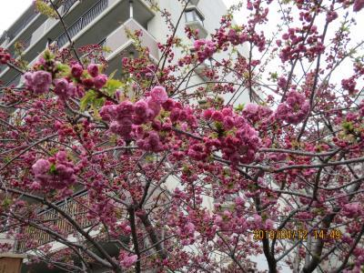 造幣局桜の通り抜け2.jpg