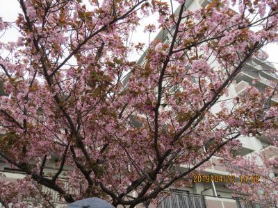 造幣局桜の通り抜け5.jpg