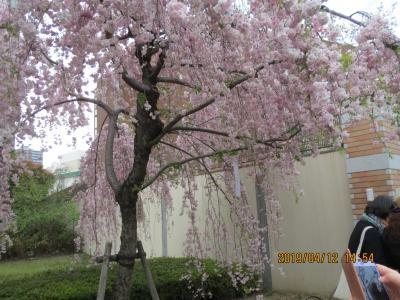 造幣局桜の通り抜け6.jpg
