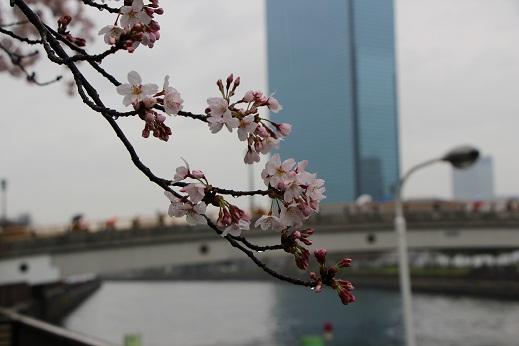 雨桜.JPG