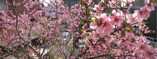 0624桃の木.jpg