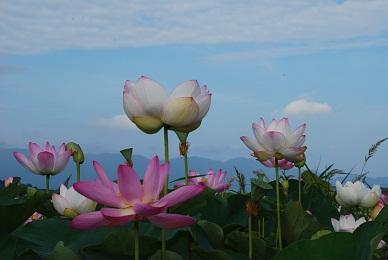 20110822藤原京:ハスの花:10%.jpg