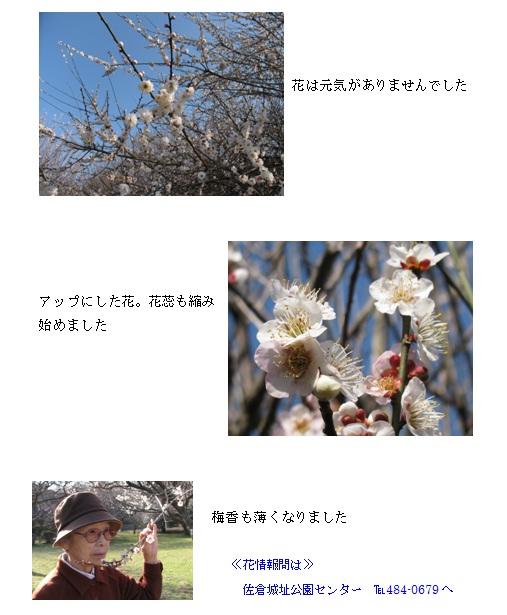 梅花もそろそろ01.jpg